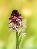 Rare Bavarian wild Orchid Stock Photos
