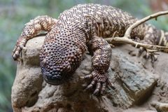 Rare beaded lizard stock photo