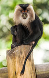 Rare Beard Monkey. In Thailand sitting on a tree Royalty Free Stock Photography
