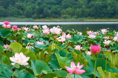 Rare and beautiful Lotus flowers. Stock Photography