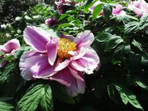 Rare beautiful pink flowers blooming in the botanical garden stock photo