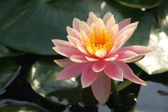 Rare beautiful tropical water lily Stock Photography