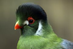 Rare Beauty. Closeup of a rare White-Cheeked Turaco against a blurred background Royalty Free Stock Photos
