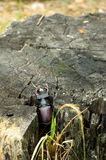 A rare beetle climbs out of a stump. Vertical shot. Stock Photography