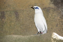 Rare bird called white Starling. In the zoo Stock Image