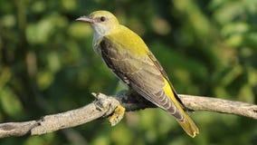 Rare Bird Golden oriole perching on the branch in the forest. Bird Golden oriole landed on the branch in the forest tree stock video