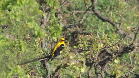 Rare Bird Golden oriole perching on the branch in the forest stock video