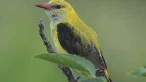 Rare Bird Golden oriole perching on the branch in the forest stock footage