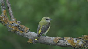 Rare Bird Golden oriole perching on the branch in the forest stock video footage