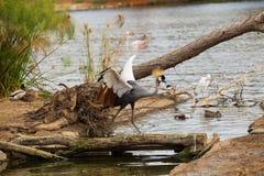 Rare Bird On Log Royalty Free Stock Photos