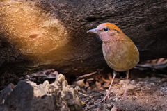 Rare bird pitta prefer walking than flying. Charming bird ,Rusty-naped Pitta  Pitta oatesi  walking for a living in highland forest ,northern Thailand Stock Photography