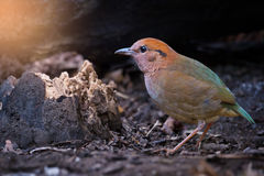 Rare bird pitta prefer walking than flying. Charming bird ,Rusty-naped Pitta  Pitta oatesi  walking for a living in highland forest ,northern Thailand Royalty Free Stock Photo