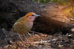 Rare bird pitta prefer walking than flying. Charming bird ,Rusty-naped Pitta  Pitta oatesi  walking for a living in highland forest ,northern Thailand Stock Photo