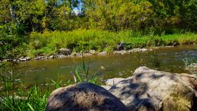 Rare bird takes off to fly down smooth flowing river. Blue heron flies across sunny river with lush trees