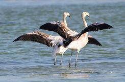 Rare Black Flamingos Stock Photography