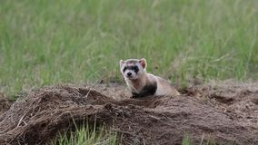 A federally endangered black-footed ferret at a prairie dog burrow on the prairie