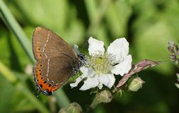 A stunning rare Black Hairstreak Butterfly Satyrium pruni  nectaring on a blackberry flower. A rare Black Hairstreak Butterfly Satyrium pruni  nectaring on a Stock Photos