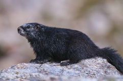 Rare Black Marmot Royalty Free Stock Photography