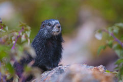 Rare Black Marmot Stock Photography