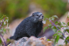 Rare Black Marmot Royalty Free Stock Photos