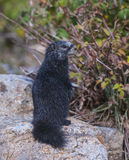 Rare Black Marmot Standing up Royalty Free Stock Photo