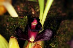 Rare  black orchid from Brazil. Beautiful and rare black orchid from Brazil. Very small Royalty Free Stock Images