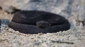 Rare Black Rattlesnake Stock Photos