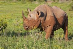 Rare Black Rhino with Muddy Hide Royalty Free Stock Photography
