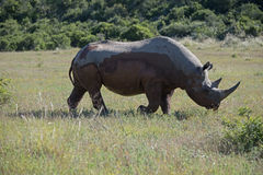 Rare Black Rhino Royalty Free Stock Image