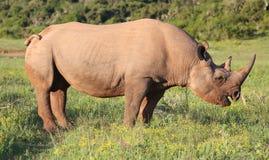 Rare Black Rhino with Hooked Lip Stock Photo