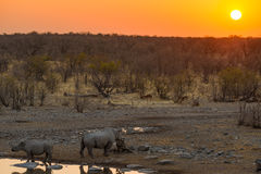 Rare Black Rhinos drinking from waterhole at sunset. Wildlife Safari in Etosha National Park, the main travel destination in Namib Stock Photos