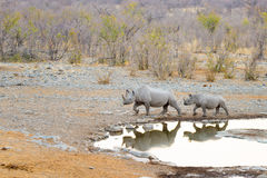 Rare Black Rhinos drinking from waterhole at sunset. Wildlife Safari in Etosha National Park, the main travel destination in Namib Royalty Free Stock Image