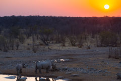 Rare Black Rhinos drinking from waterhole at sunset. Wildlife Safari in Etosha National Park, the main travel destination in Namib Stock Photo
