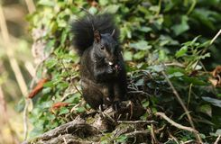A rare cute Black Squirrel Scirius carolinensis eating a nut sitting on a log in woodland. stock photo