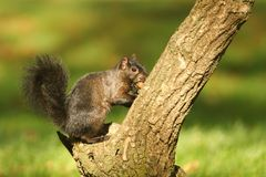 A rare Black Squirrel Scirius carolinensis sitting on the side of a tree trunk with an Acorn in its mouth. Royalty Free Stock Photo