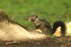 A rare Black Squirrel Scirius carolinensis sitting on the side of a tree trunk with an Acorn in its mouth. Royalty Free Stock Photography