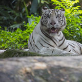 Rare Black and White Striped Adult Tiger.  stock image