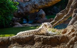 Rare Black and White Tiger. Rare Black and White Striped Adult Tiger royalty free stock photo