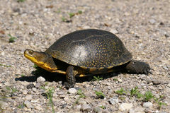 Rare Blandings Turtle walking royalty free stock photos