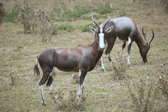 Rare Blesbok, Damaliscus dorcas phillipsi Royalty Free Stock Photography