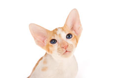 Rare blue eyed Oriental on white background Royalty Free Stock Photos