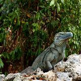 Rare Blue Iguana Cayman Islands royalty free stock photos
