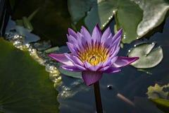 a rare blue lotus stock image