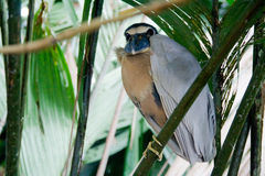 Rare boat billed heron Royalty Free Stock Images