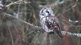 Rare Boreal Owl, Aegolius funereus from Canada