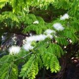 Rare Brazilian Rain Tree in Bloom Royalty Free Stock Photos
