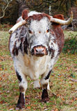 Rare Breed English Longhorn Royalty Free Stock Image