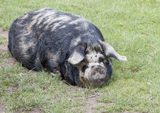 Rare breed Kunekune pig Royalty Free Stock Photography