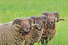 Rare Breed Sheep Stock Photo