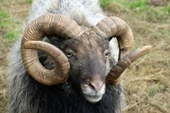 Rare breed sheep Stock Photos